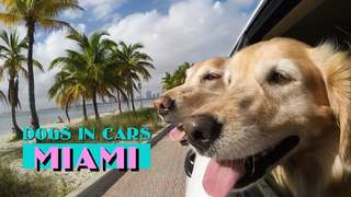 Dogs in Cars: Miami (feat. The Bark4Green Dogs)